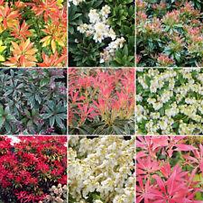 5 X Pieris Plant Mix - High Quality Established Plants in Pots UK Grown