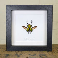 Saw Tooth Beetle in Box Frame (Lamprima adolphinae) Entomology Frame
