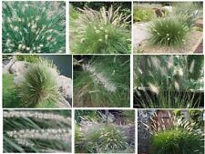 Wild Fountain Ornamental Grass         Over 100 Seeds