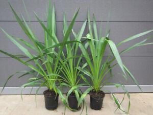 Yucca gloriosa  - Kerzen Palmlilie -  Pflanze 40-60cm  Winterhart -25°C