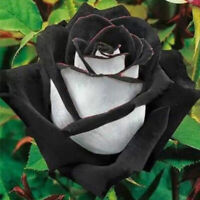 400 PCS Amazing Rose Seeds China Rare Black With White Rose Flower Seeds