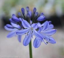 3 New Agapanthus Blue Heaven violet blue flowers excellent garden plant