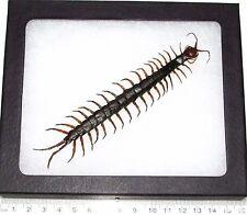 Real Framed Centipede