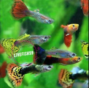 10 X MIX Guppy Tropical Fish