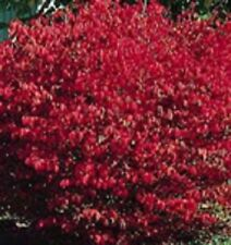 Euonymus alatus Compactus Zwerg Korkflügelstrauch Herbstfärbung Spindelstrauch