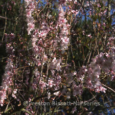 Prunus Autumnalis Rosea Winter Flowering Cherry Tree 12 litre Pot