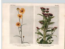 1934 Wildflower Book Plate Swamp Sunflower, Spicy Fleabane, Elecampane