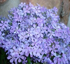 6 Medium Tall Wild Phlox Plants - Gorgeous Breath Taking Blue Flowers in Spring