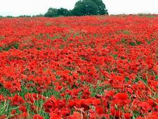 Fairy Flower Seeds x100 Papaver Red Field Poppy, seeds Fairy Garden, Wild Flower