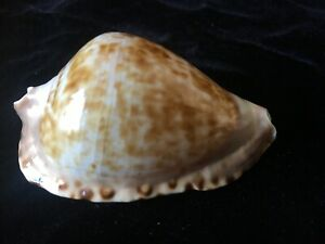 Seashell Zoila Marginata Consueta F+++ 63.9mm