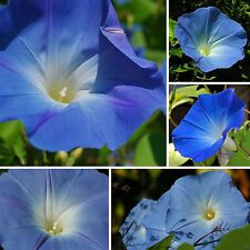 Himmelblaue Prunkwinde •50 Samen/seed •Ipomoea tricolor 'Heavenly Blue'