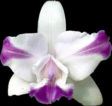 C intermedia var. aquinii coerulea (4N) x C Floralia's Azul (4N); Nbs