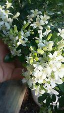 Fragrant flowers,Jasmine tree's, Jasmine plants,