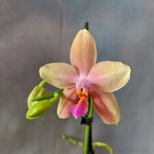Phalaenopsis Sweet Memory 'Liodoro' scented hybrid orchid, 12cm pot in spike.