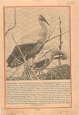Stork's Nest  Couple Cigogne Nid Alsace Elsass 1931