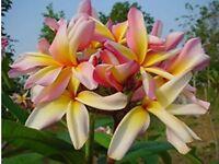 "5 Fresh Seeds Frangipani Plumeria Rubra ""Leela"""