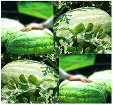 (10) CAROLINA CROSS MELON WATERMELON SEEDS -  Combined S&H