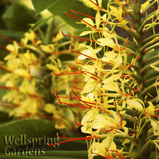 Ginger Anne S Bishop Hedychium Live Plant Butterfly Lily Yellow Flower Fragrant