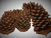 Giant pine cones pack of 5 (12cm to 16cm)