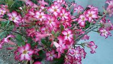 10 Cut Pink Adenium Obesum Desert Rose 5~6 in
