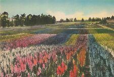 Postcard Gladiolus Gardens Santa Maria California