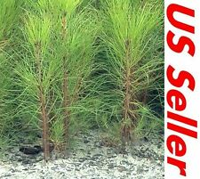 "7 Tree Seedlings 4""~7"" Tall Georgia Long Needle Pine Trees P2, Hardy Trees"