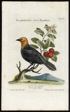 Antique Print-YELLOW HEADED BLACKBIRD-XIII-Seligmann-Edwards-1768