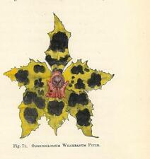 Stampa antica FIORI ORCHIDEA ODONTOGLOSSUM WILCKEANU botanica 1896 Antique print