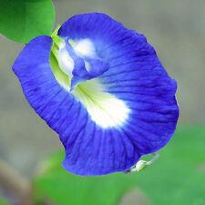 Butterfly Pea 'Clitoria ternatea' climbing vine flower garden 50 seeds