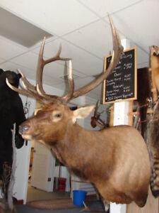 ELK SHOULDER MOUNT, NICE, antlers, hide, small animals