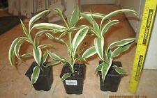 Dracaena Sanderiana white edged Lucky Bamboo Tropical plant