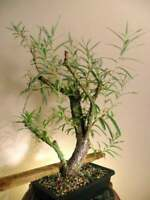Bonsai Hybrid Willow Tree - Thick Trunk Cutting - Exotic Bonsai Material