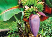 1 x  FRESH BANANA FLOWER BLOSSOMS or Banana Heart from Asian Countries . P&P UK