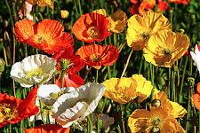 Iceland Poppy Flower Seeds - Garden Seeds - Bulk
