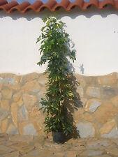 """2 x Schefflera aboricola """" Gold Capella""""  160cm +/- Zimmerpflanze"""