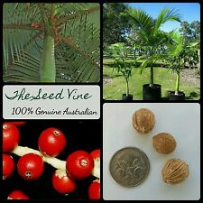 10 KING ALEXANDER PALM TREE SEEDS (Archontophoenix alexandrae) Tropical Garden