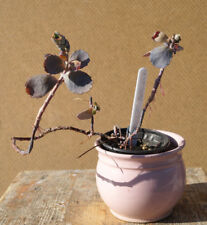 Kalanchoe fedtschenkoi Jungpflanze Crassula Dickblatt selten