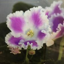 African Violet Ek-Kubanskaya Kazachka Russian/Ukrainian Std Young Plant