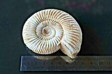 Ammonite fosil PERISPHINCTES VIRGULOIDES-MADAGASCAR