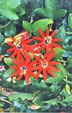 Passiflora mathewsii cv. Red Star 6 Seeds