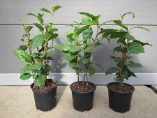 Camellia sinensis - Teepflanze - Echter Teestrauch – Pflanze 30-40cm bis -10°C