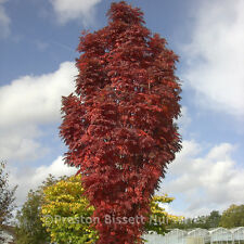 Sorbus Autumn Spire  Rowan Mountain Ash Tree 12 litre Pot
