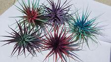 Bromeliad Tillandsia ionantha Wedding Favor Pack 100 count colored Air Plant