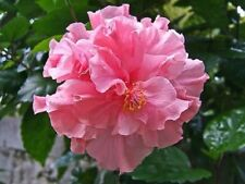 20 Double Pink Hibiscus Seeds Perennial Hardy Flower Garden Exotic Seed 369