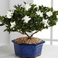 Gardenia jasminoides 100 Samen seeds Gardenie Cape Jasmine Bonsai NEU^ M1G9