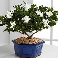 """Cape GELSOMINO """"Gardenia Jasminoides'S 100 semi bonsai"""