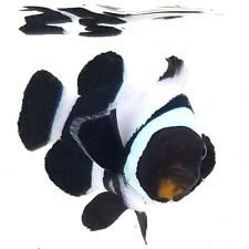 Sustainable Aquatics Black Davinci Smudgy Designer Clownfish WYSIWYG