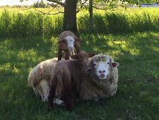 Raw Sheep Wool Fleece, 1 lb, White, Spinning, Yarn, Felting, Fiber Crafts