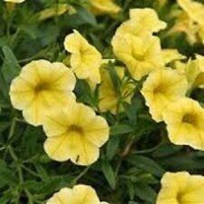 YELLOW CALIBRACHOA mass flowers, trailing plants - large 4cell seedling punnet