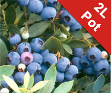 Blueberry Soft Fruit Bush Sunshine Blue Vaccinium 2L Pot Edible Outdoor Garden